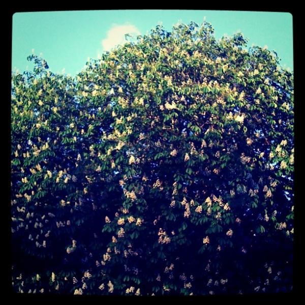 Marronnier en fleur II