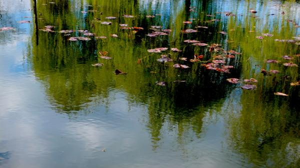 Water Lilies - Nénuphars - Nymphéas
